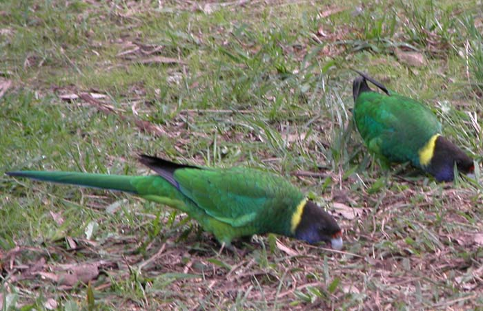 "A pair of ""28s"" parrots on the ground near Peaceful Bay"