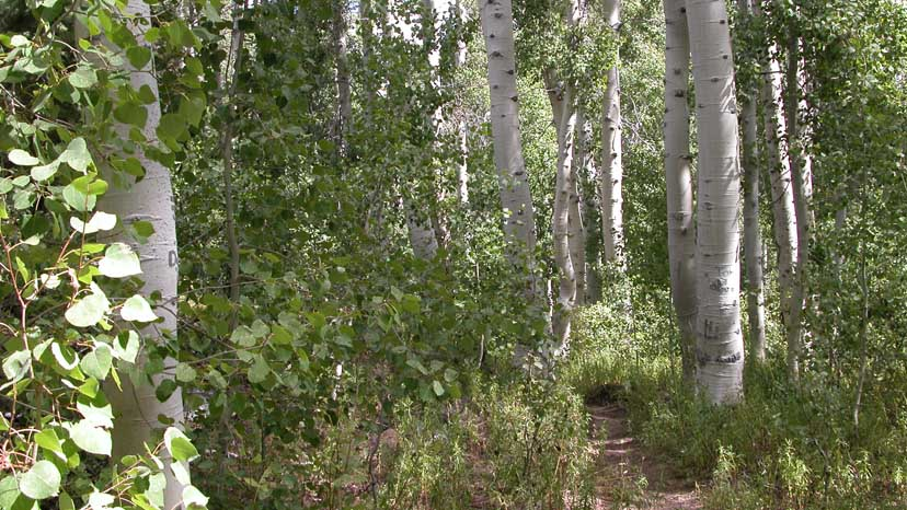 The beautiful aspen grove on the climb to Bear Ridge from Mono Creek
