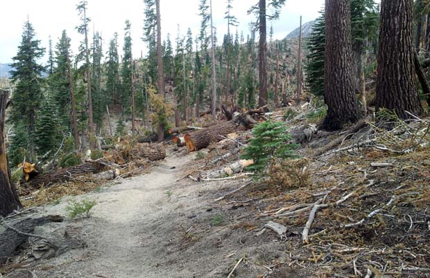 The wind-blown devastation to the forest south of Red's Meadow. Mainly Red Firs.