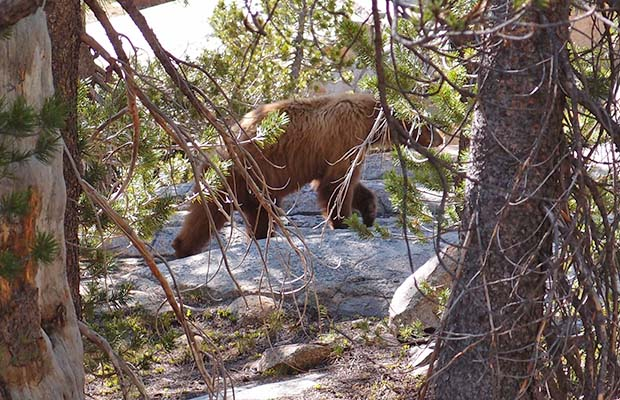 Our morning bear [cub] in Rogers Meadow ... but where's the mother?