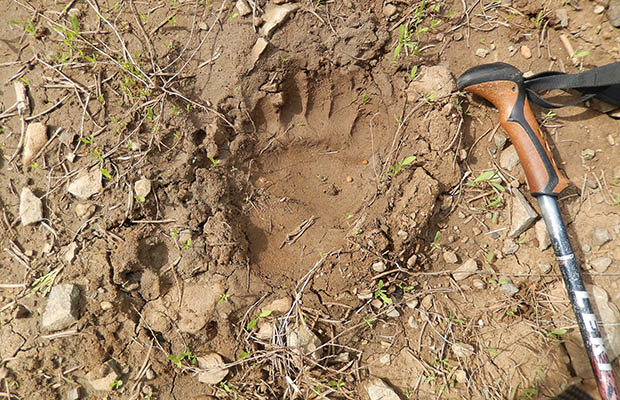 No wonder people believe in Bigfoot - a very fresh bearpaw track.