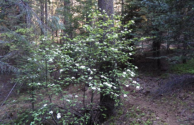 The Dogwoods are flowering near Upper Jakes Spring.