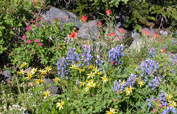 Alpine wildflowers: scarlet and magenta paintbrush mixed with lupine and yellow arnica.