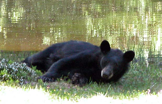 Time for a well fed bear to lie down in the shade.